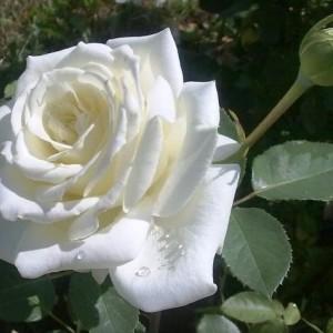 Саженец розы Пола Штерн