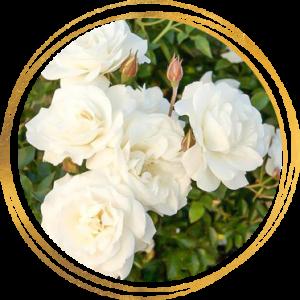 Саженец розы полиантовой Диадэм Уайт