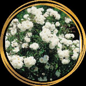 Саженец розы полиантовой Ивонна Райбер (Yvonne Rabier)