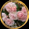 Саженец полиантовой розы Мевьер Натали Нирельс: фото и описание