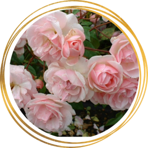 Саженец розы полиантовой Мевьер Натали Нирельс