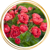 Саженец полиантовой розы Оранж Триумф: фото и описание