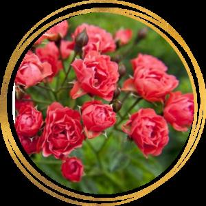 Саженец розы полиантовой Оранж Триумф