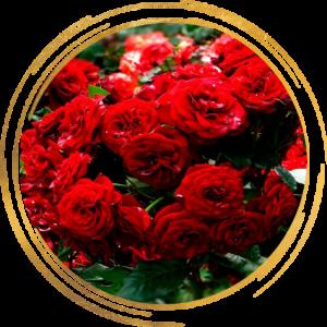 Саженец розы полиантовой Ред Диадем