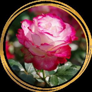 Саженец розы полиантовой Роял Минуэто