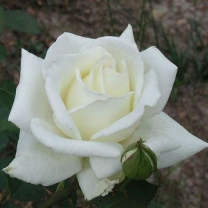 Саженец розы Полярная Звезда-2