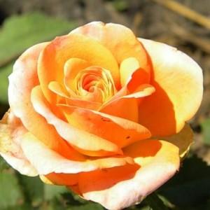 Саженец чайно-гибридной розы Примадонна