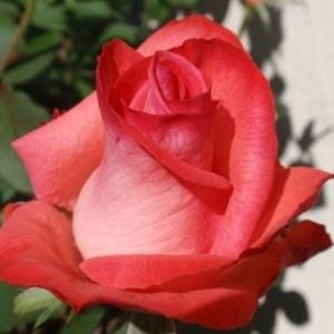 Саженец розы Raphaela