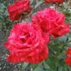 Саженец розы Ред Интуишн: фото и описание