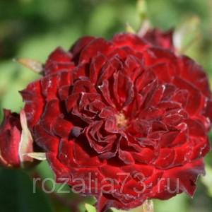 Саженец розы Рэд Каскад