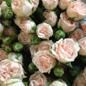 Саженец розы Romantic Pepita (Романтик Пепита)