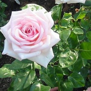Саженец розы Роял Хагнесс
