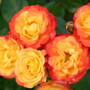 Саженец розы Румба