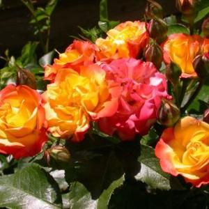 Саженец розы Самба Пати