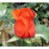 Саженец розы Седукцион: фото и описание