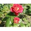 Саженец розы Шанти: фото и описание