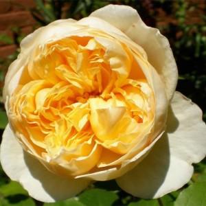 Саженец розы Шарлотт (Charlotte)