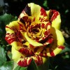 Саженец чайно-гибридной розы Симсабелла: фото и описание