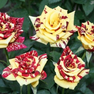 Саженец розы Симсабелла