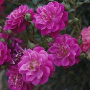 Саженец розы Сиреневый дождь