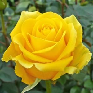 Саженец чайно-гибридной розы Скайлайн