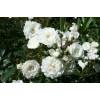 Саженец розы Снежный балет: фото и описание