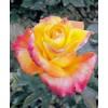 Саженец розы Solidor - 2: фото и описание