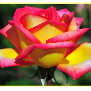 Саженец розы Solidor - 2