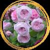 Саженец шраб розы Спирит прерий (Spirit of Freedom): фото и описание