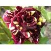 Саженец розы спрей Абракадабра: фото и описание