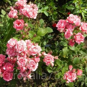 Саженец розы спрей Грация