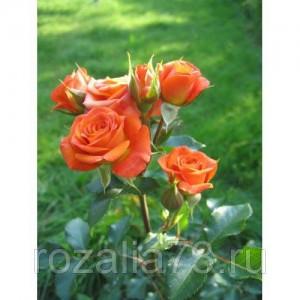Саженец розы спрей Келли