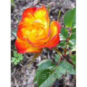 Саженец розы спрей Колибри