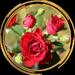 Саженец розы спрей Мирабель