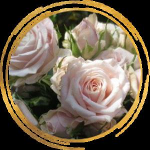 Саженец розы спрей Олеся