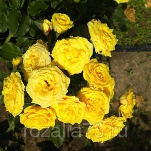 Саженец розы спрей Сан Сити