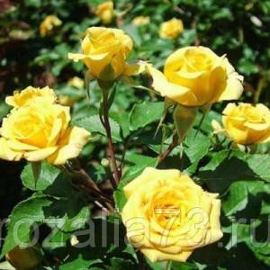 Саженец розы спрей Yellow Baby