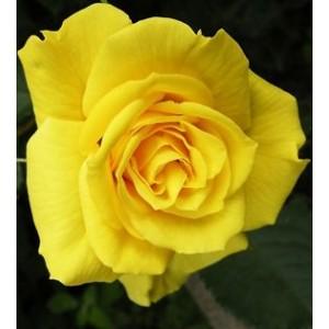 Саженец чайно-гибридной розы Старлайт