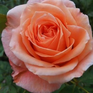 Саженец розы Сусанна