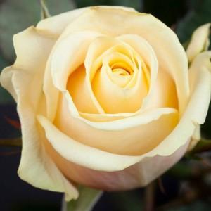 Саженец чайно-гибридной розы Талея