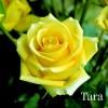 Саженец розы Тара: фото и описание