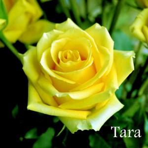 Саженец чайно-гибридной розы Тара