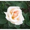 Саженец розы Таймлесс: фото и описание