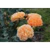Саженец розы Timeless: фото и описание