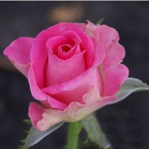 Саженец розы Topaz