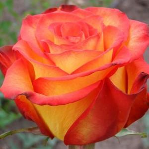 Саженец розы Циркус