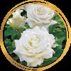 Саженец розы Уайт Кристмас: фото и описание