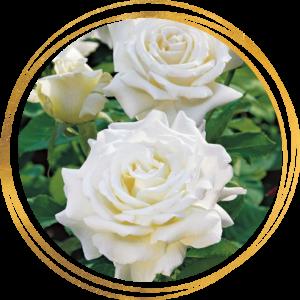 Саженец розы Уайт Кристмас