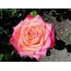 Саженец розы Утопия: фото и описание