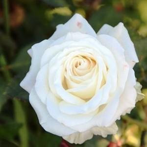 Саженец розы Венделла
